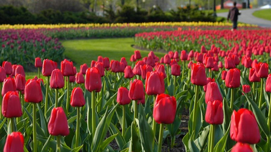 Canadian Tulip Festival (Image Credit: Ottawa Tourism)