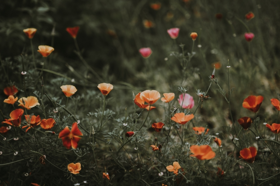 poppy flowers by annie spratt